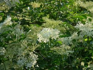 Med z květů černého bezu recept