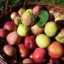 Zavařená strouhaná jablka