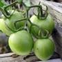Chutney ze zelených rajčat