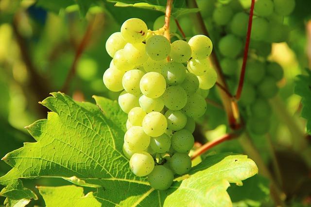 Zavařování hroznového vína recepty